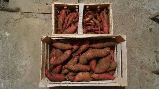 Sladki krompir sveže izkopan iz gredice v začetku novembra