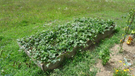 Posebna dvignjena gredica z veliko komposta in mivke za sladki krompir. V njej tvori debele gomolje.