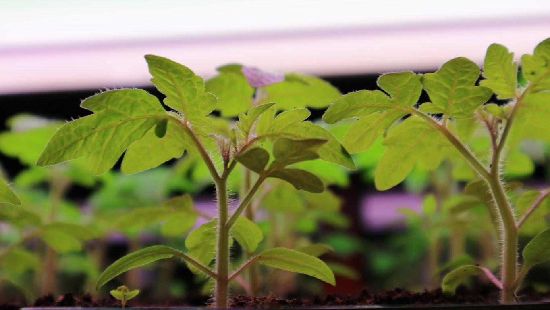 Paradižnik vzgoja sadike