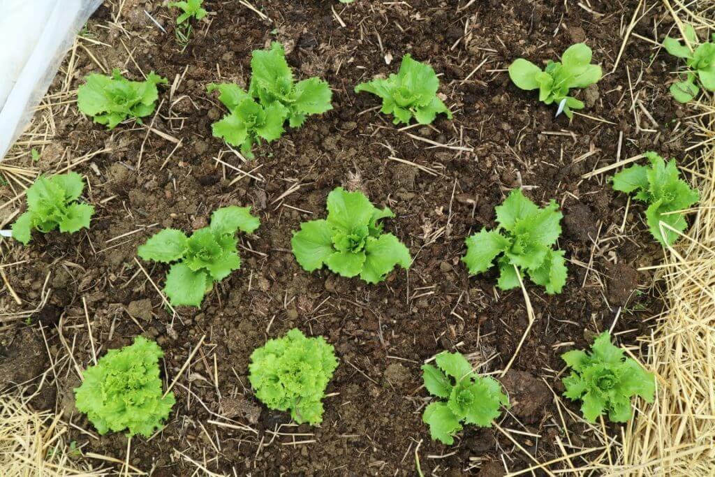 Zasaditev solate na gredici