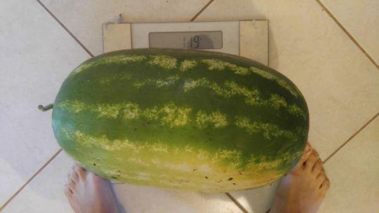 11,9 kg lubenica iz leta 2017