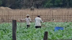 Kmetje na njivi tobaka