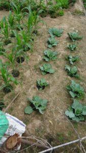 Zelje in koruza v globokih sadilnih jamicah polne komposta