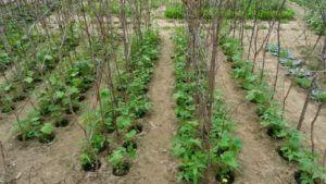 Visok fižol v globokih sadilnih jamicah polne komposta