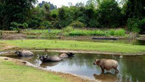 Tudi govedo obožuje reko Hinboun