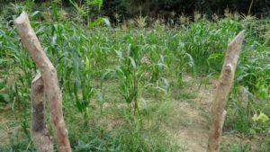 Koruza na pustih tleh brez sadilnih jamic ne raste kaj prida .. Tako je tudi na naših vrtovih, če nimamo dovolj žive in z organsko snovjo bogate zemlje