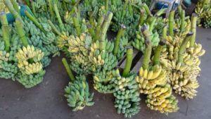 Obilje banan