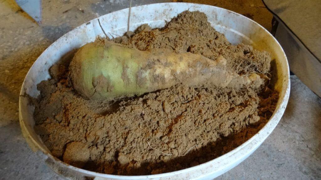 Rumeno korenje po 6 mesecih v mivki je še vedno sveže
