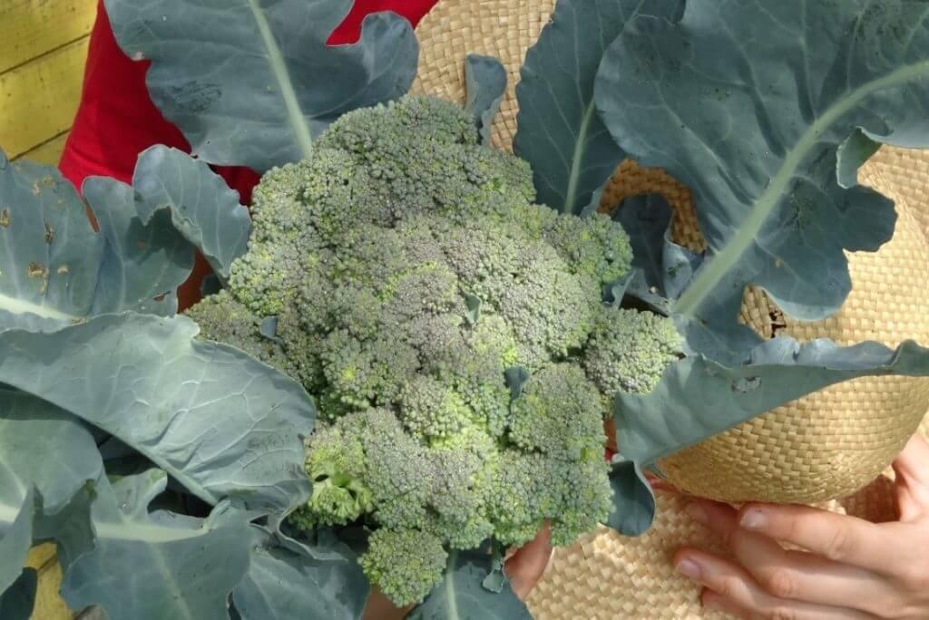 Brokoli vzgoja