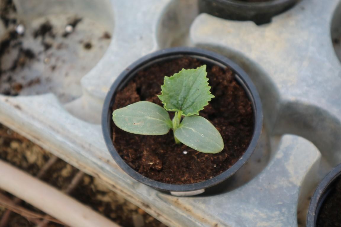 Kumare pripravimo svoje sadike proti koncu meseca.