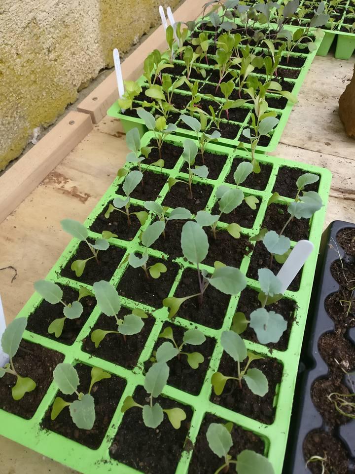 Utrjevanje in hkrati še rast sadik brokolija v marcu.