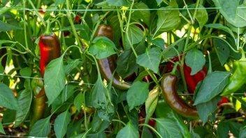 Paprika vzgoja