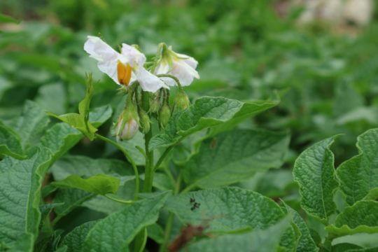 Cvetenje krompirja