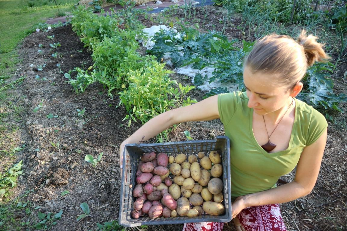Najokusnejši je mlad krompir