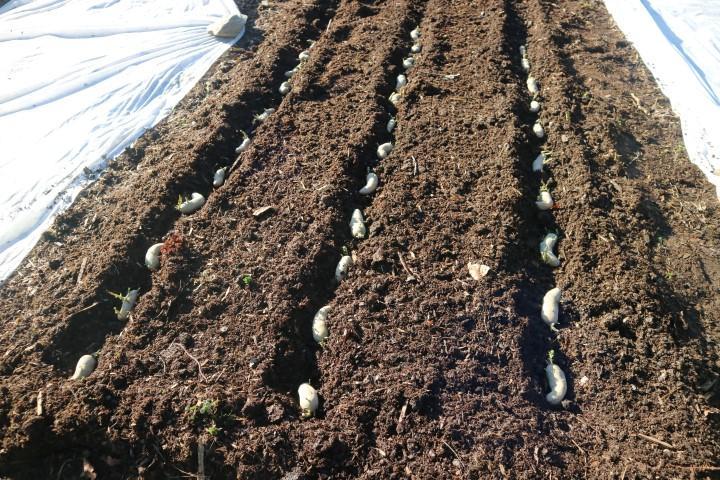 Nakaljene gomolje posadimo plitko v kompost