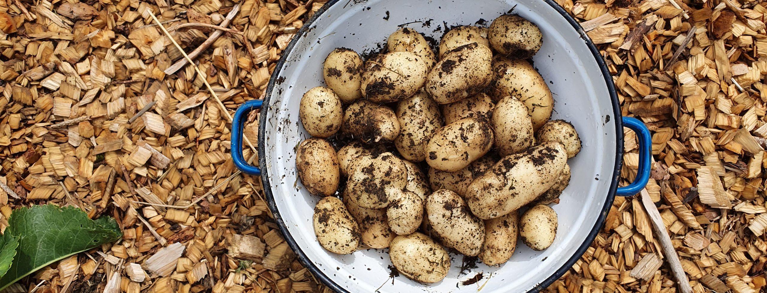 Krompir vzgoja in nega vrt obilja