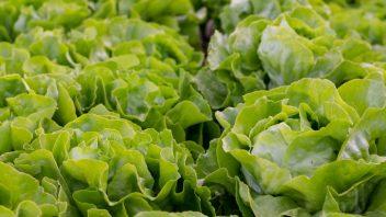 Solata vzgoja in nega vrt obilja