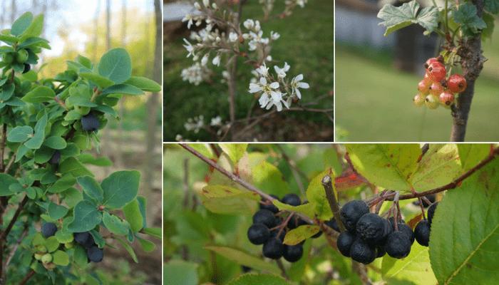 jagodičevje na vrtu