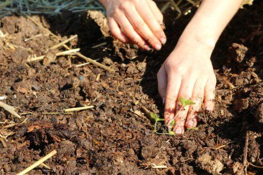 vzgoja zelene se začne z vzgojo sadik