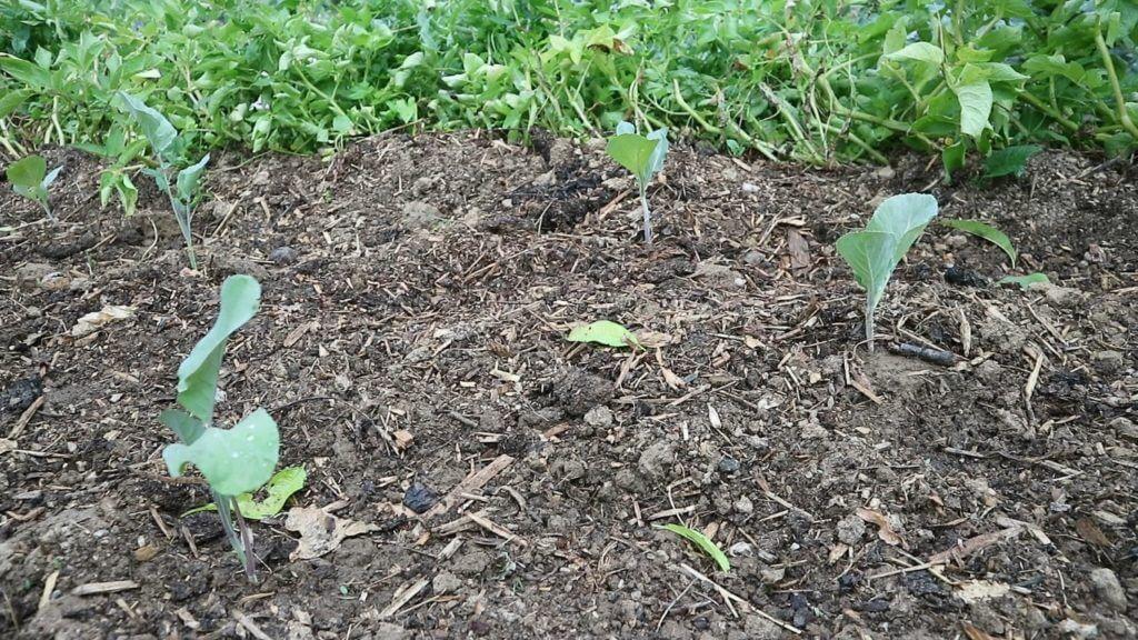 Za krompirjem sledi zelje