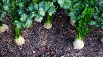 Gomoljna zelena vzgoja in gojenje