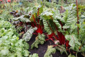 Rdeča blitva in črni kompost