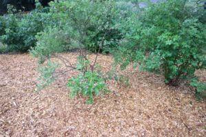 Ameriška borovnica v kompostu prekritem s sekanci