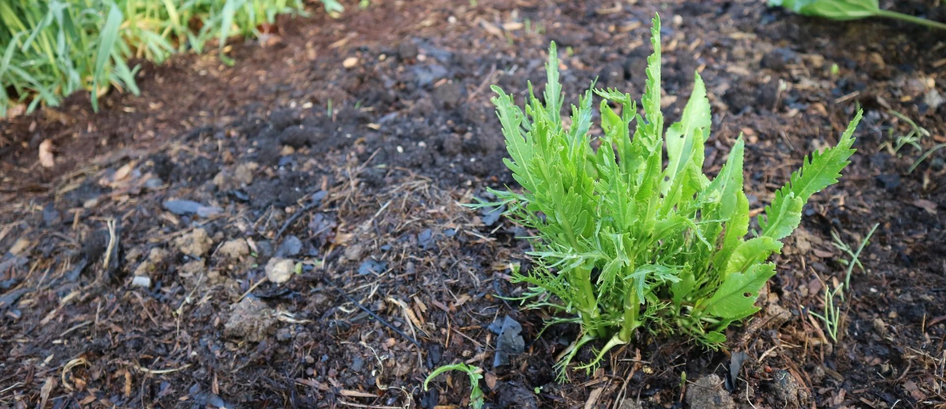 Mlada rastlina hrena