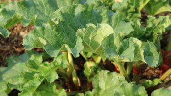 Rabarbara vzgoja gojenje