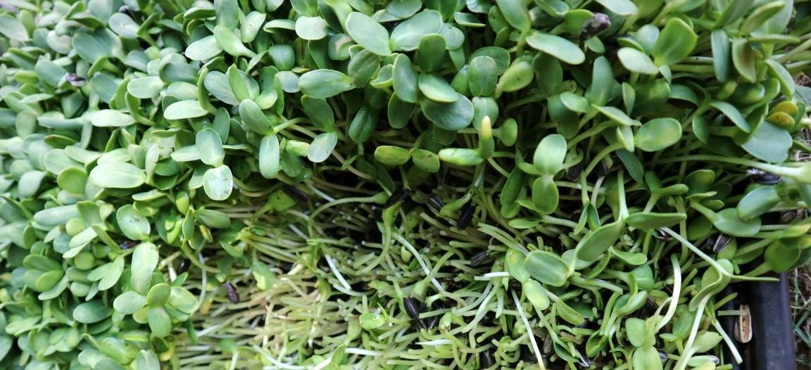 Mikro zelenje