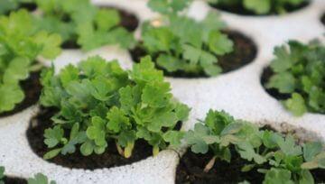 Zakaj so sadike boljša izbira kot direktna setev na gredo