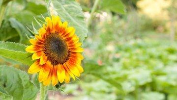 Povezanost sončnice in Venere kot potrditev biodinamike