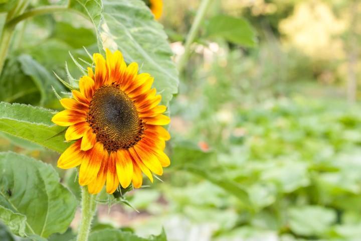 Sončnica biodinamika