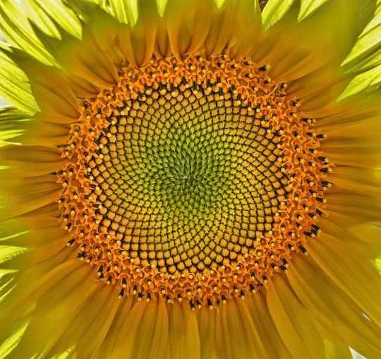 Sončnica cvet biodinamika venera