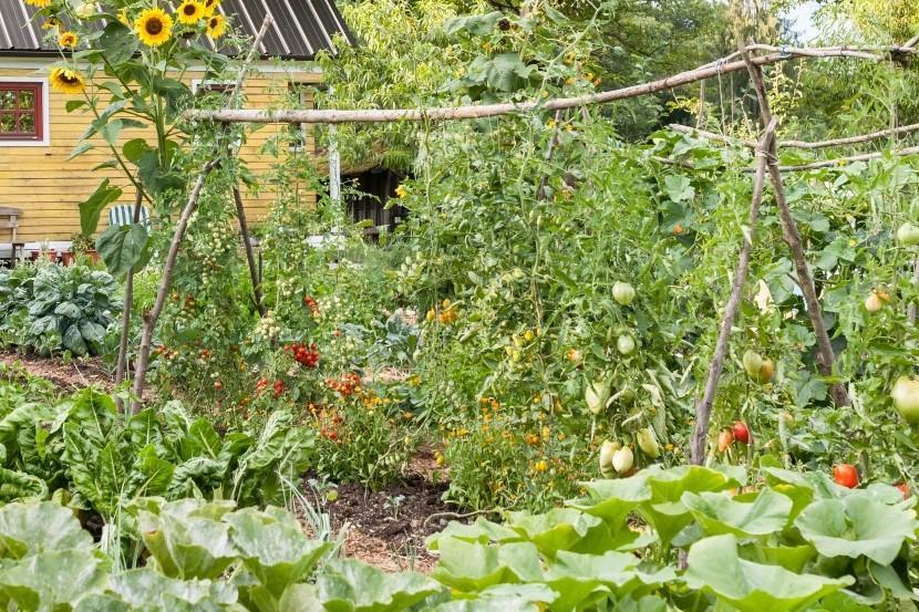 Lanskoletna opora za paradižnik