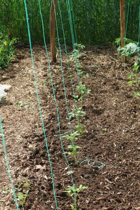 Presajene sadike paradižnika v vrsto in nastavljena vrvica