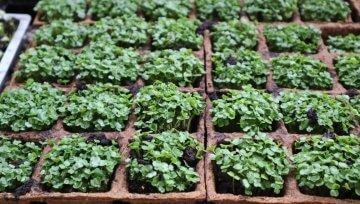 Vzgoja mikrozelenja redkvic, brokolija, rukole in vrtne kreše