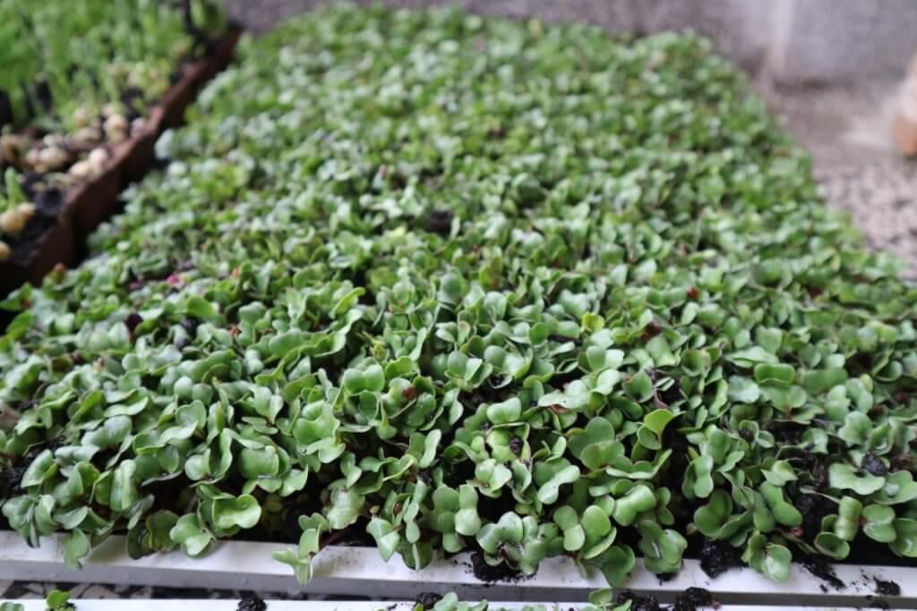 Mikrozelenje brokoli