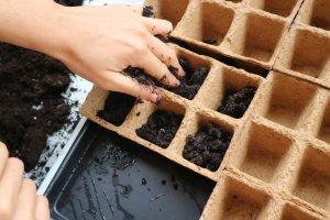 Sadilne celice do polovice napolnemo s sadilnim substratom.