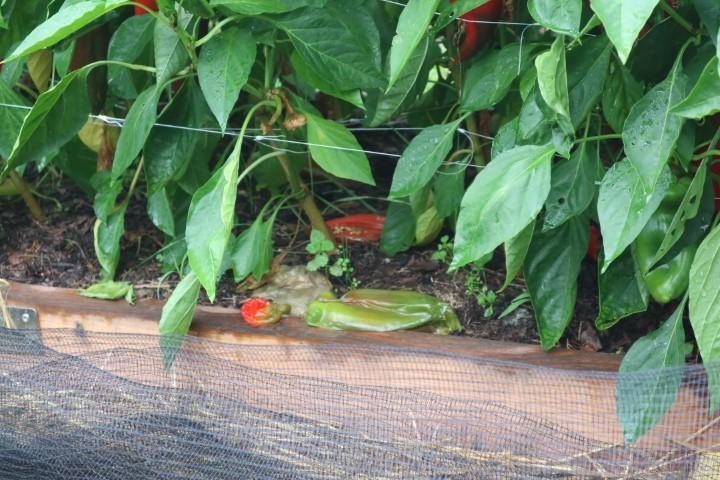 Gnitje paprik škodljivec muha