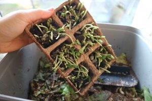 Ostanek skupaj s substraton in biorazgradljivimi lončki lahko zabržemo v Bokashi Organico.