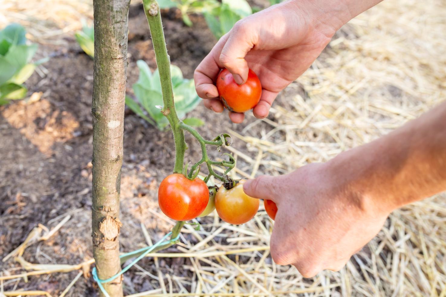 Sezona paradajza leta 2018 je bila kratka in skromna
