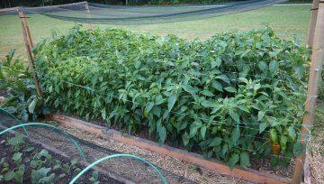 Paprike rade rastejo zelo gosto skupaj