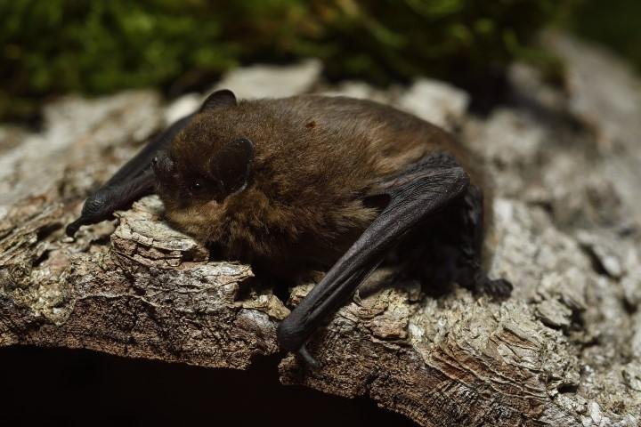 Nathusijev netopir.
