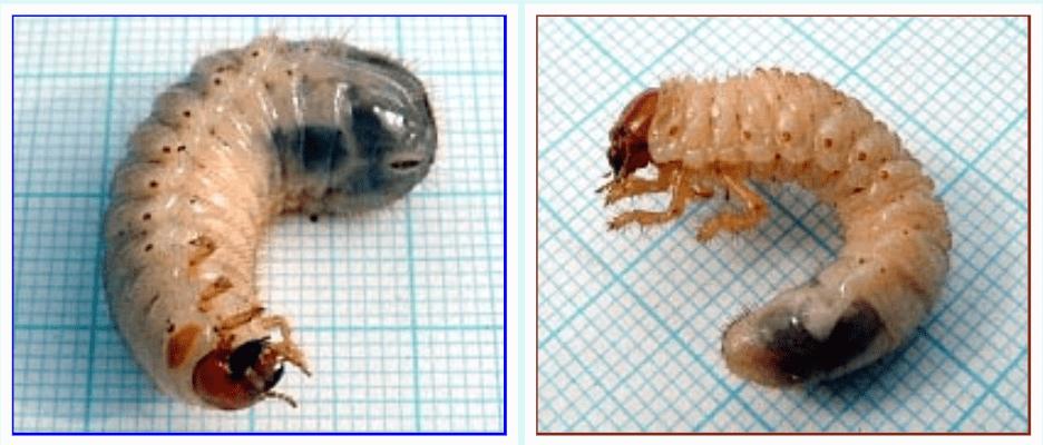Ličinka zlate minice in majskega hrošča