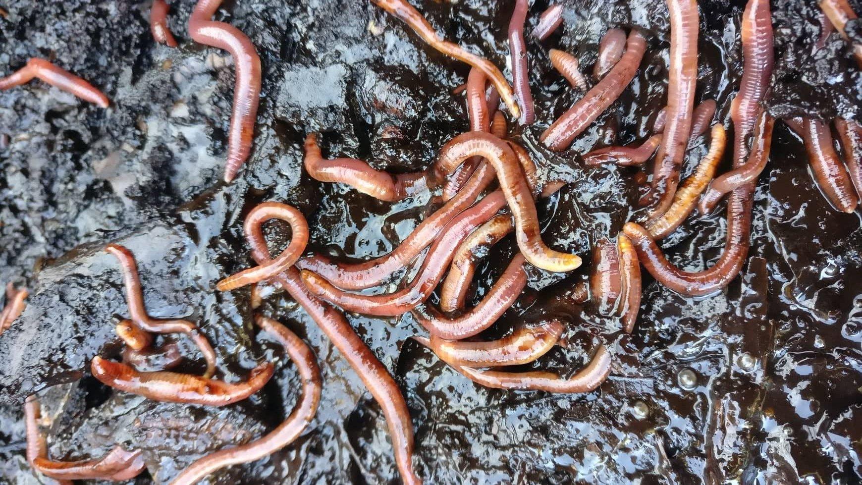 Kompostiranje z deževniki - vermikompostiranje