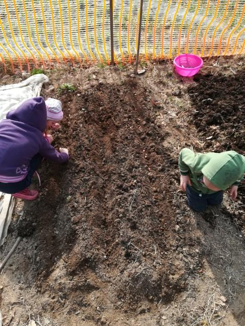 Setev boba v kompostno zastirko 2019