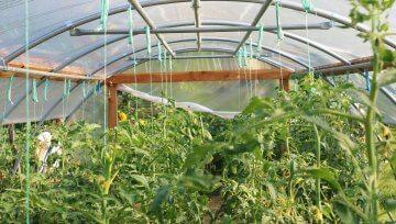 Kako v juniju uspeva paradižnik v novem rastlinjaku?