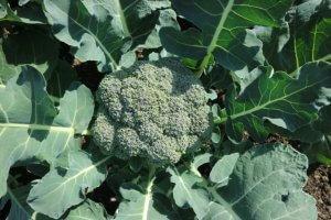 Brokoli je že zrel za pobiranje.