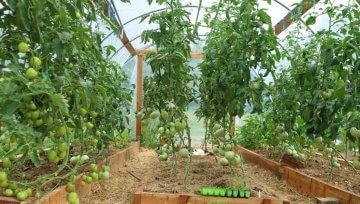 Nega paradižnika v en ali dva vrha z rednim redčenjem starejših listov